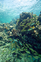 School of tropical fish on a coral reef in Belize