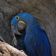 Hyacinth Macaw, at nest site. Pantanal. Brazil.