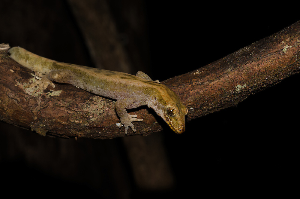 Pacific gecko, Dactylocnemis pacificus