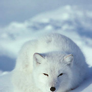 Arctic Fox (Alopex lagopus) Adult curled up and resting on frozen Churchill, Manitoba. Canada.