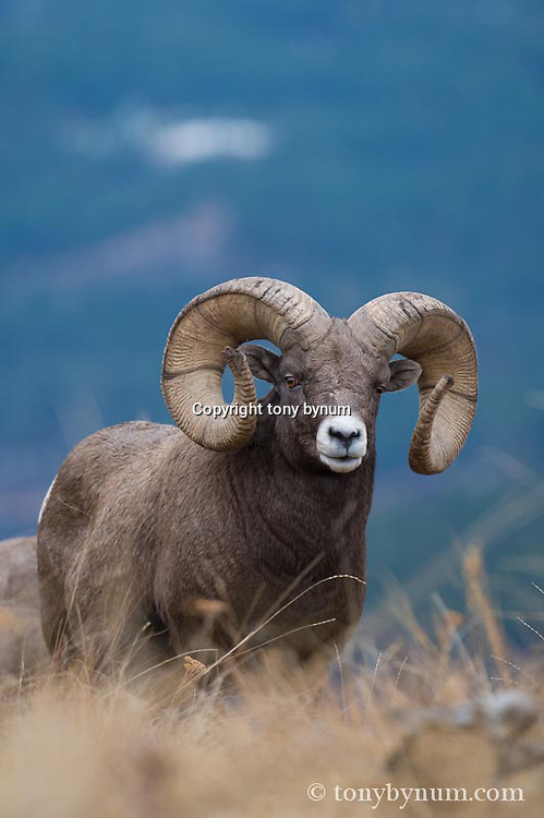 bighorn ram in babitat with blue background
