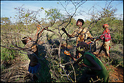 "Julia Marumo, her two young sisters, and her cousin Gladys pick mopane worms from mopane trees in the countryside; entire families like hers move into mobile camps for the short mopane harvest which occurs twice every year in Botswana. The mopane worm is actually the caterpillar of the anomalous emperor moth (Imbrasia belina), one of the larger moths in the world. ""Mopane"" refers to the mopane tree, and its leaves which the caterpillar eats. Dried mopane worms have three times the protein content of beef and can be stored for many months. (pages 128,129)"