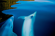 Two bottlenose dolphins frolic in Doubtful Sound.