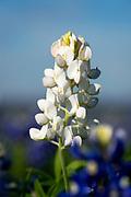 White bluebonnet of the Prairies and Lakes Region, Navasota, Texas