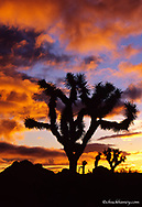 Joshua Trees at sunrise in  Joshua Tree National Park in California