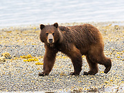 Brown bear sow, Pack Creek Bear Viewing Area on Admiralty Island, Tongass National Forest, Alaska.