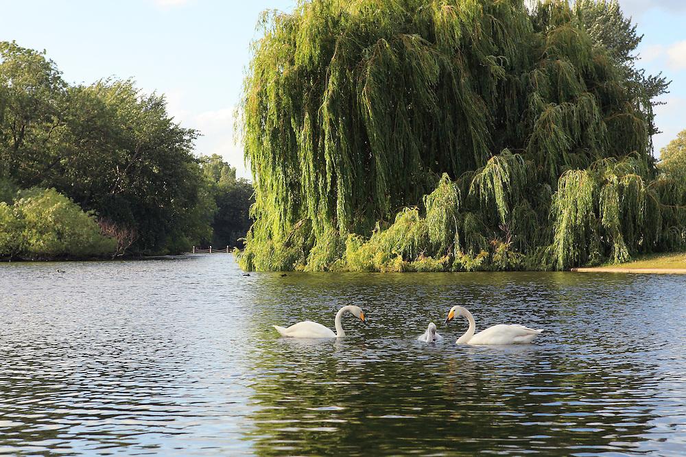 White Swan Family - Regents Park - London, UK