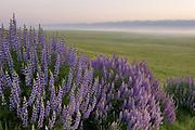 Lupine at Sunrise along the Caliente Range,Carrizo Plain National Monument, California