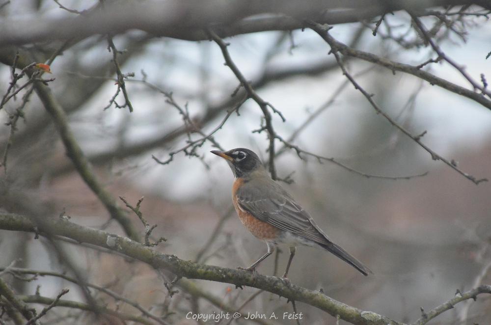 A robin sitting on a branch outside my window in Hillsborough, NJ