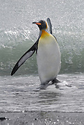 King Penguin leaving the sea in the background a wave splashes behind and sparkles in the sun.