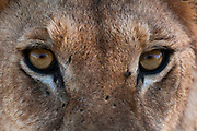 Close-up of the eyes of a lioness, Panthera leo.