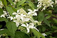 Hydrangea Paniculata 'Great Star' in The Savill Garden, Surrey, UK