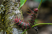 Caterpillar Photographed in the Amazonian jungle, Peru
