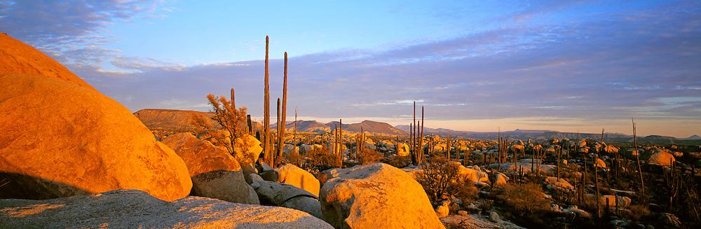 MEXICO, BAJA CALIFORNIA Cardon cactus in Catavina Boulderfield