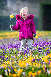© Licensed to London News Pictures. 17/02/2019. Leedas UK. 3 year old Scarlet plays in the Crocuses at Temple Newsam Park in Leeds this morning on another sunny day in Yorkshire. Photo credit: Andrew McCaren/LNP