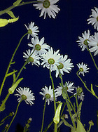looking up from the ground at daisy flowers
