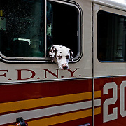Dog, dalmation, passing the head through a firefighter truck.