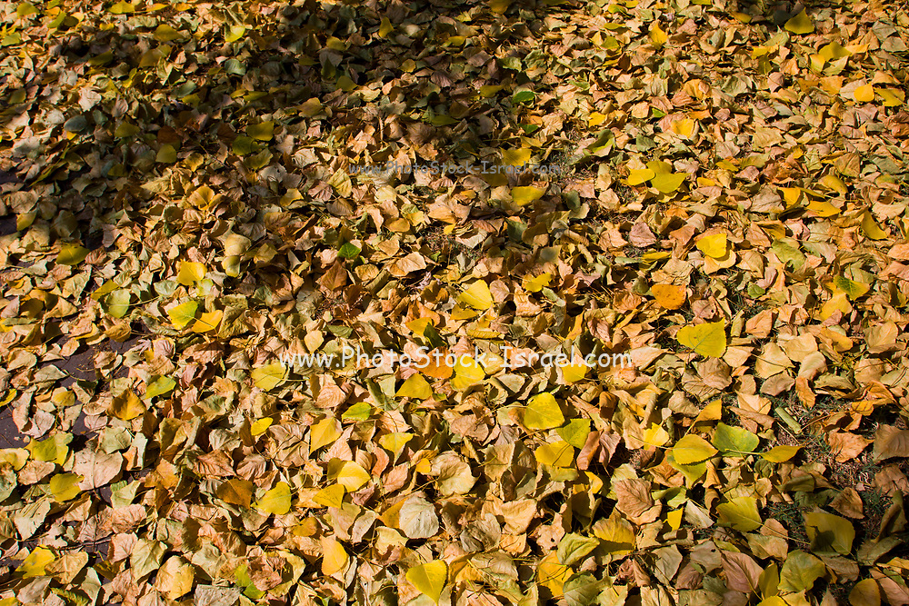 Orange and brown Autumn coloured leaves
