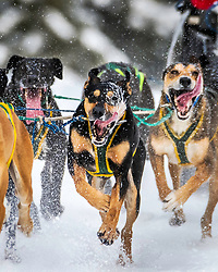 The slobber is flying at the Pedigree Sled Dog Race in Western Wyoming.
