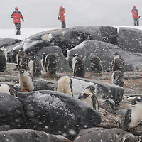Tourists from a cruise ship explore a Gentoo Penguin rookery on Booth  Island, Antarctica during a heavy snowstorm.