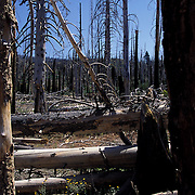 Dead trees in Reds Meadow, part of the Ansel Adams Wilderness, in Mammoth Lakes, CA.