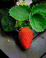 Indoor Hydroponic Strawberry. Image taken with a Fuji X-T3 camera and 80 mm f/2.8 macro lens (ISO 800, 80 mm, f/11, 1/125 sec).