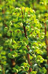 Euphorbia x martinii. spurge