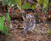 Chipping Sparrow. Image taken with a Nikon D3s camera and 80-400 mm VR lens.