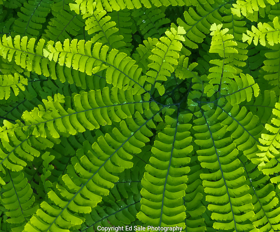 A colorful green fern with water droplets on fronds shows amazing spoke pattern