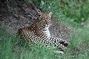 Leopard, Panthera pardus resting in shade near Lebala Camp, Okavango