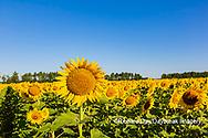 63801-11120 Sunflowers in field Jasper Co.  IL