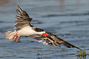 Black Skimmer with wings out landing, (Rynchops niger), Back Bay Reserve, California
