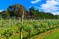 Vineyards, Ata Rangi Winery, Martinborough, North Island, New Zealand