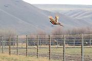 Rooster Pheasant in Flight