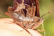 Purple Emperor (Apatura iris) in hand. Surrey, UK.