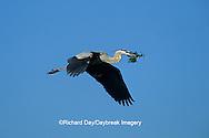 00684-02607 Great Blue Heron (Ardea herodias) in flight carrying branch to nest   FL