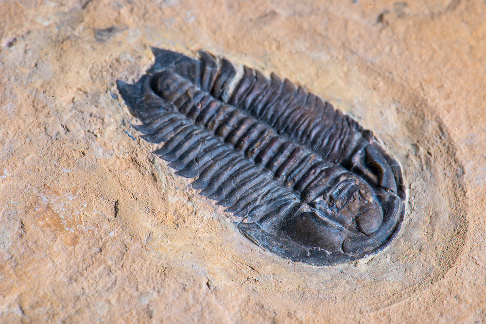 This slightly disarticulated Meteoraspis dis (sagittal length: 30mm) is a rare Middle Cambrian ptychopariid trilobite collected from the Weeks Formation in the House Range, Millard County, Utah