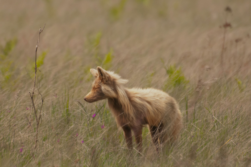 A Red Fox (Vulpes vulpes) in the fields of American Camp, San Juan Island, Washington.  Photo by William Byrne Drumm.