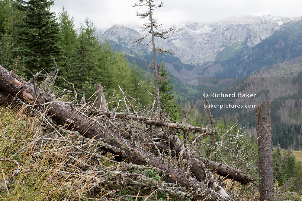 A diseased forest landscape (and the Slovakian border in the distance) where spruce trees have been badly affected by the European spruce beetle, in Dolina Mietusia, a hiking route in the Polish Tatra National Park, on 18th September 2019, in Dolina Mietusia, near Zakopane, Malopolska, Poland. The European spruce beetle (Ips typographus) is one of 116 bark beetles species in Poland which is killing thousands of spruces. The insect's population can grow rapidly via wind and snow etc. which eventually leaves a gap in the landscape, thereby changing the forest floor's ecology.