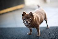 2011 June 15 - A small chihuahua dog inside Bauhaus Coffee, Capitol Hill, Seattle, WA. CREDIT: Richard Walker