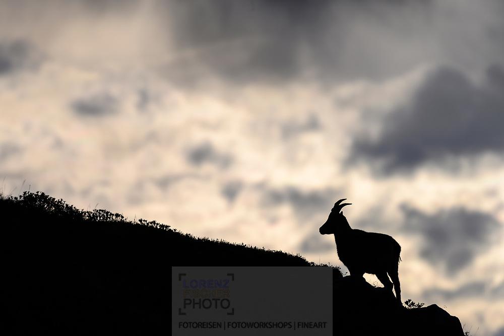 Junger, männlicher Alpensteinbock (Capra ibex) auf dem Niederhorn; Interlaken, Bern, Schweiz<br /> <br /> Young male alpine ibex (Capra ibex) on the Niederhorn; Interlaken, Bern, Switzerland