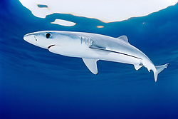 blue shark, Prionace glauca, juvenile, San Diego, California, USA, Pacific Ocean