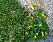 Alpine Ragwort Photographed in the Swiss Alps, near Guarda, Switzerland in September
