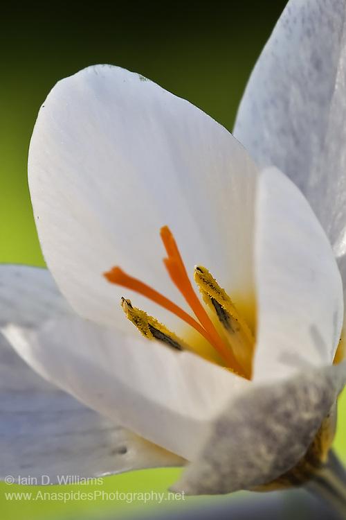 White Crocus - Tasmania