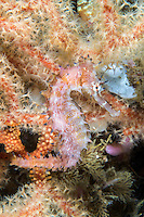 Thorny Seahorse perched on a Soft Coral<br /> <br /> Shot in Indonesia