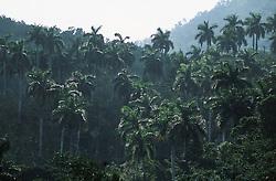 Backlit shot of palm trees near to Soroa; Cuba,