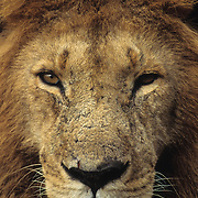 African Lion (Panthera leo) mature male. Masai Mara National Reserve, Kenya, Africa