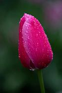 Raindrops on Tulipa 'Avignon' a strawberry red tulip