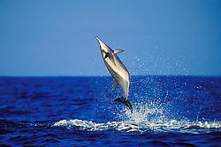 spinner dolphin leaping, Stenella longirostris, Kona, Big Island, Hawaii, Pacific Ocean