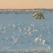 A large male polar bear (Ursus maritimus) walking along Hudson Bay near Churchill, Manitoba. Canada.